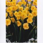 13/9 - Narcissus Jonquilla Sundial - David Payne